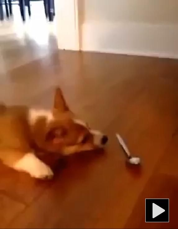 463 best images about dog dogs doggies on pinterest for Tap tap fish corgi