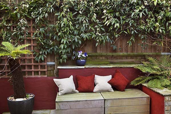Clematis armandii climber plant behind outdoor seating in garden