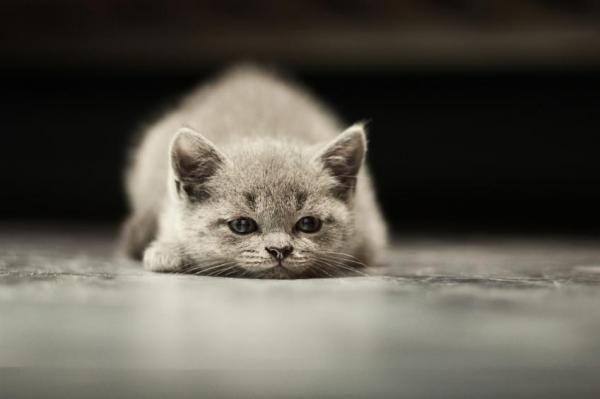 Symptômes de la leishmaniose chez les chats. – Animaux