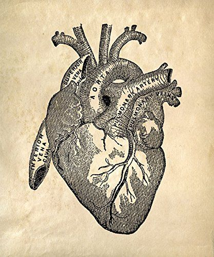 the anatomy of the heart essay View test prep - anatomy study questions from kin 122 at university of rhode  island essay questions: exam 4: the cardiovascular system, the.