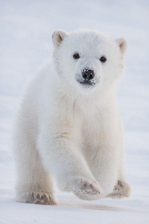 afternoontea7: Polar Bear Cub en la nieve, Fuente: e4rthy - e4rthy.tumblr.com (a través de Pinterest)