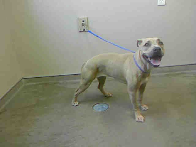 *PURTTY-ID#A724880  Shelter staff named me PURTTY.  I am a spayed female, fawn Pit Bull Terrier mix.  The shelter staff think I am about 1 year and 1 month old.  I have been at the shelter since Jun 28, 2013.