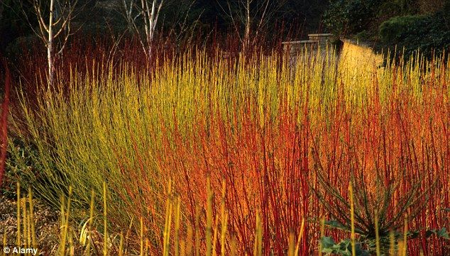 As the gloom of November gathers stems and twigs can add much needed colour to your garden
