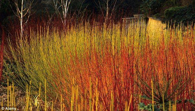 17 best images about grass on pinterest sun hakone and - Cornus alba sibirica ...