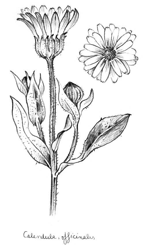 Calendula october birth flower   tattoos   Pinterest ... Calendula Flower Drawing