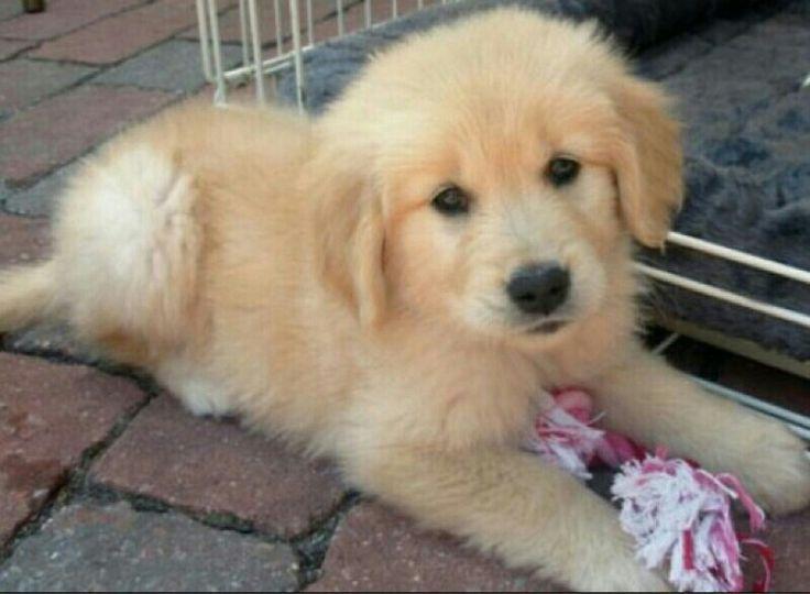 how to train a retriever puppy