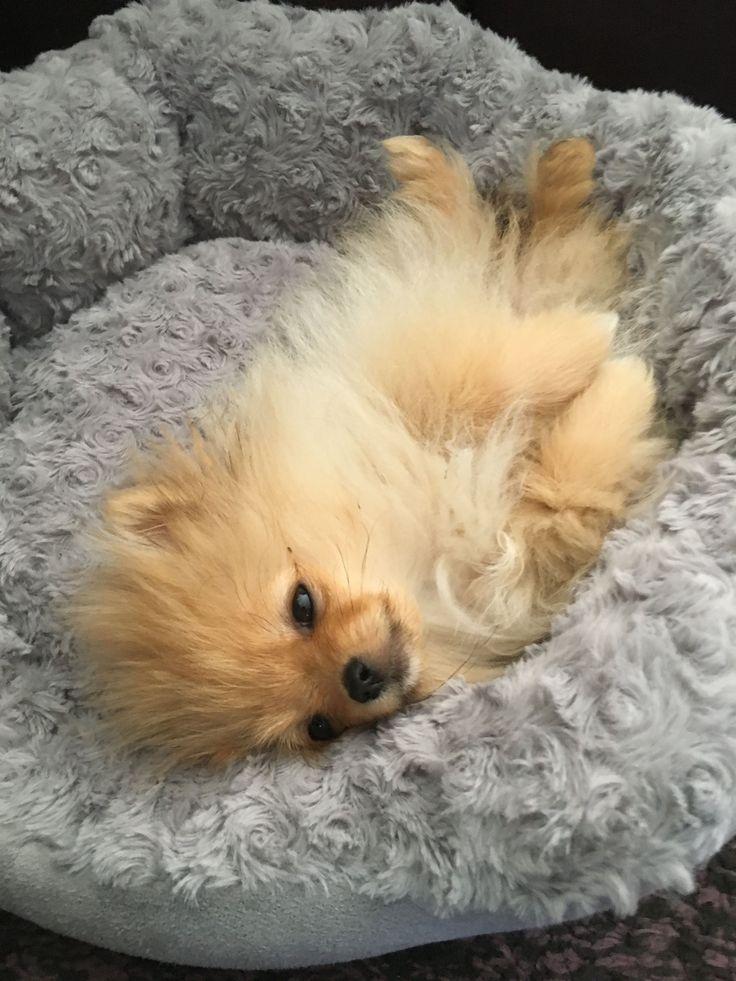 And Sweet The Pomeranian Honden en puppies