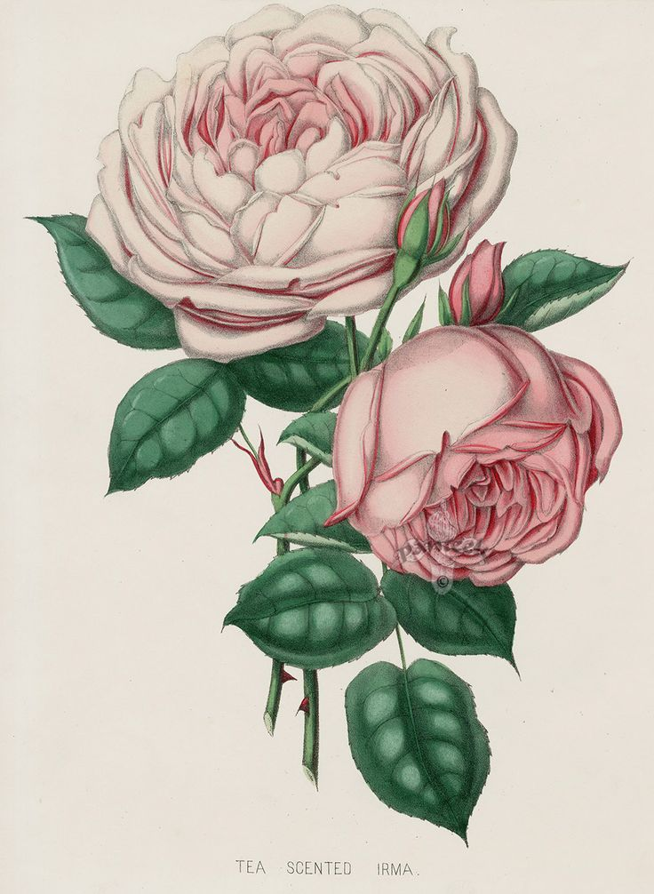 Tea Scented Irma from Vintage Rose Prints by Henry Curtis 1850