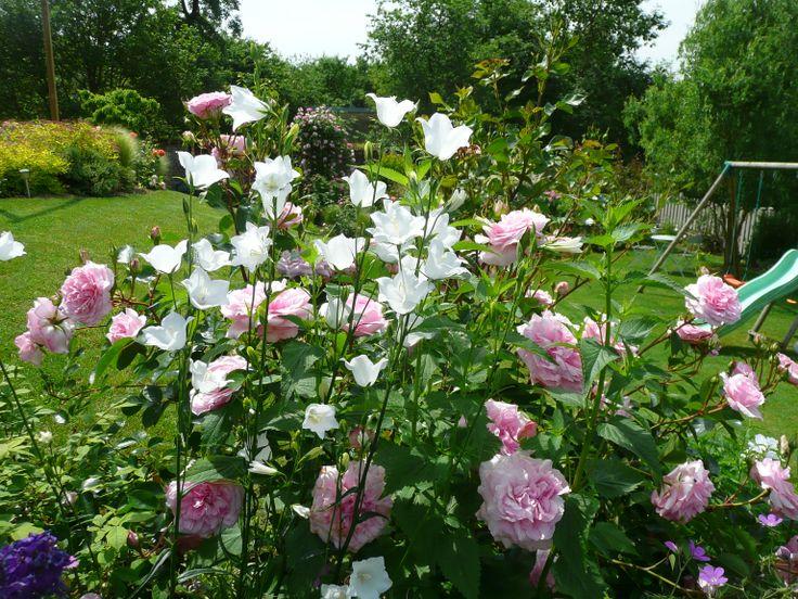 campanules et roses