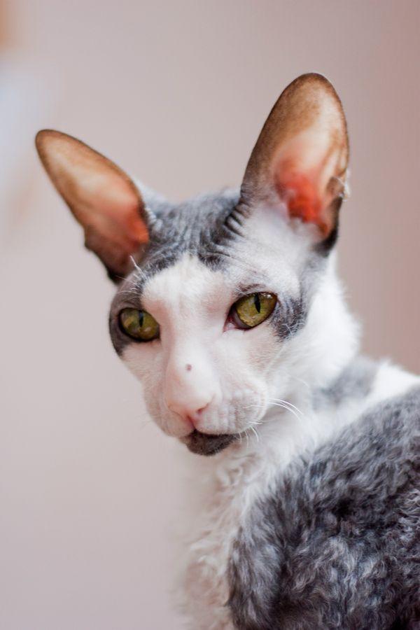 19 Best Gato Cornish Rex Images On Pinterest Cornish Rex