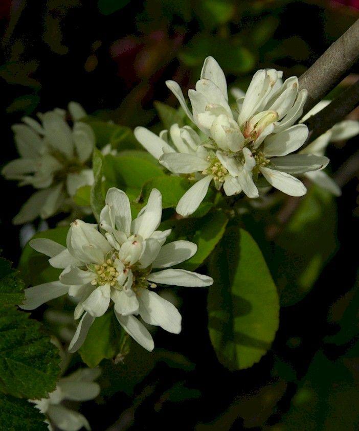 Preserving information for Serviceberry, Saskatoon (Amelanchier alnifolia), Pacific northwest native shrub