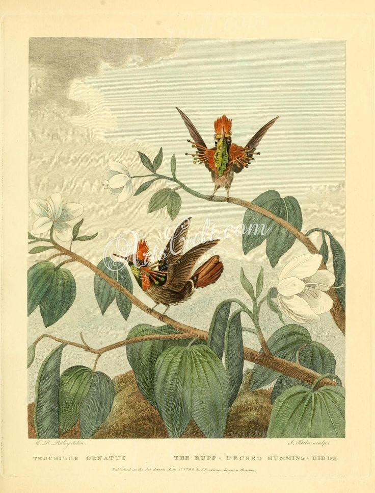 Ruff-necked Humming-bird, trochilus ornatus      ...