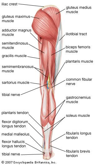 17 best ideas about human body muscles on pinterest | human muscle, Muscles