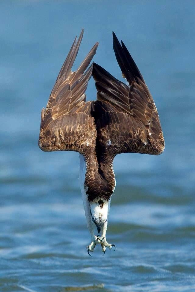 When osprey fish, they soar above the water until they spot their prey. Then they dive talons-first into the water, often submerging themselves completely.  After making a catch, osprey will adjust their grasp on the fish so that it faces forward. This aligns the fish with their direction of movement to make flying away more efficient.  Images: Michael Wulf, Txema Garcia