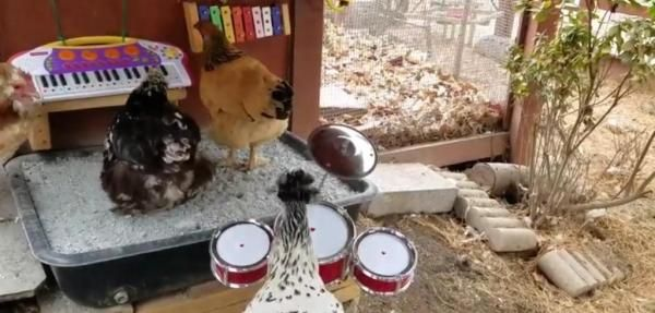 Maryland chickens play instruments, form 'chicken band'