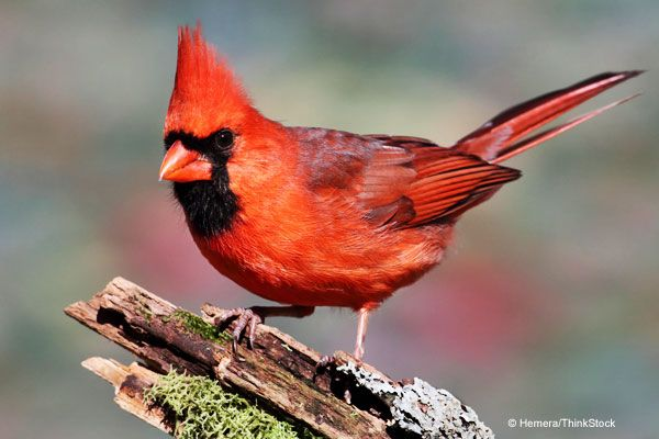 Cardinal Birds & Bird Nests - Attract nesting Northern Cardinals to your yard with the right types of bird foods, plants and more. Also a video on sounds of the male and female. The female Cardinal is my favorite wild bird, followed by the male Cardinal.