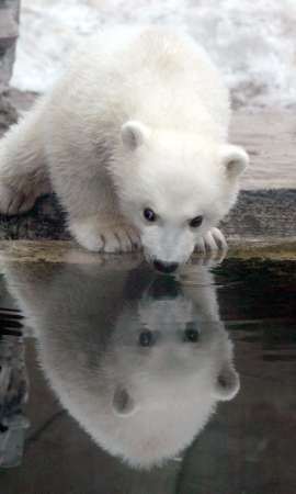 Polar Bear CubChronic Pain, Polar Bear Cubs, Bears Reflections, Baby Polar Bears, Baby Bears, Polar Baby, Polar Bears Cubs, Drinks Water, Animal