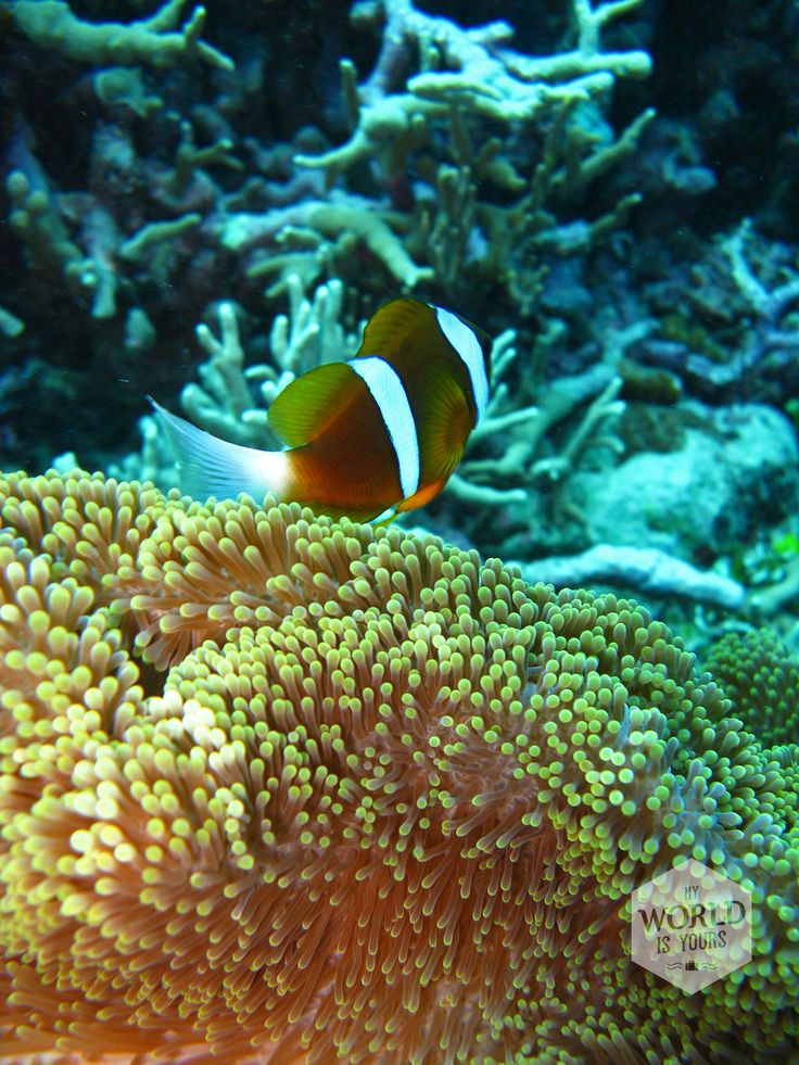Found Nemo! @ the Great Barrier Reef in Australia. Photo: Anemonefish or Clownfish near his coral home.