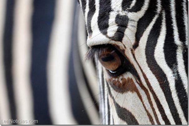 Las rayas de las cebras evolucionaron para protegerlas de los insectos - http://www.leanoticias.com/2014/04/02/las-rayas-de-las-cebras-evolucionaron-para-protegerlas-de-los-insectos/