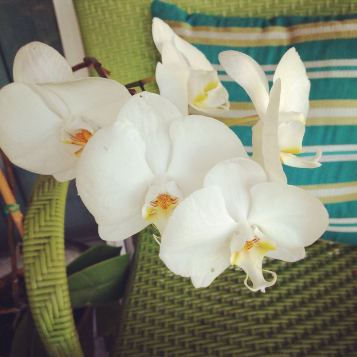 Received these orchids as a gift for presenting at a health seminar in 2011. Still blooming and growing each year. This year 25 blooms.