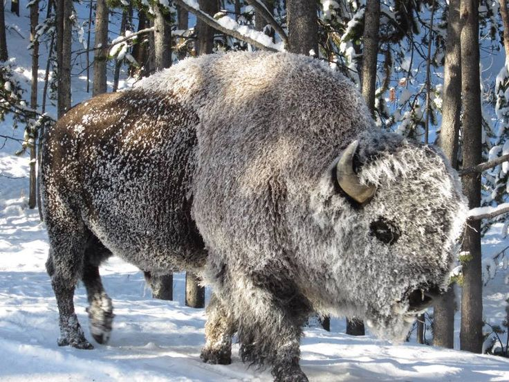 The new results could also mean rethinking how much of different plant types that modern grazers, such as the bison, eat, researchers say.