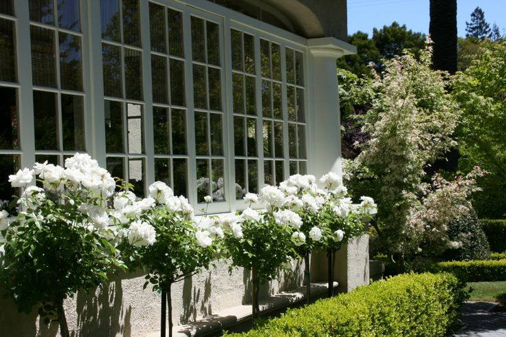 white rose trees with boxwood hedges.  Very pretty but wonder how well these would do in area that seems to be windy....