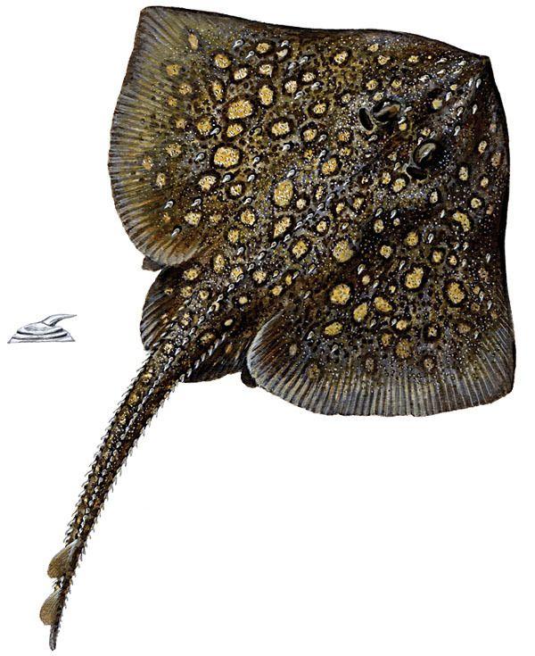 Piggskate, Raja clavata.  Opptil 20 år. Legger ett egg hver dag under gyting. Den er buttsnutet og har tallrike pigger på kroppsskiven og tre piggrekker på halen. Hannene blir 90 cm og hunnene 120 cm lange. Verdifull bifangst ved trål- og linefisket i Nordsjøen og ved Storbritannia. Forekommer på bløtbunn mellom 20 og 300 m dyp fra Svartehavet og Middelhavet nordover til Island og Kvitsjøen; alminnelig langs hele norskekysten.