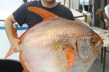 Southwest Fisheries Science Center biologist Nick Wegner holds a captured opah, the first-ever warm-blooded fish!