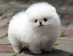 Resultado de imagen para perros de raza pequeña