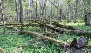 Obalamy mity ekologów o Puszczy Białowieskiej. Prawda jest całkiem inna… - niezalezna.pl