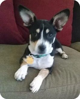 Rockaway, NJ - Chihuahua/Rat Terrier Mix. Meet Dolly Madison MOPS, a puppy for adoption. http://www.adoptapet.com/pet/12397758-rockaway-new-jersey-chihuahua-mix