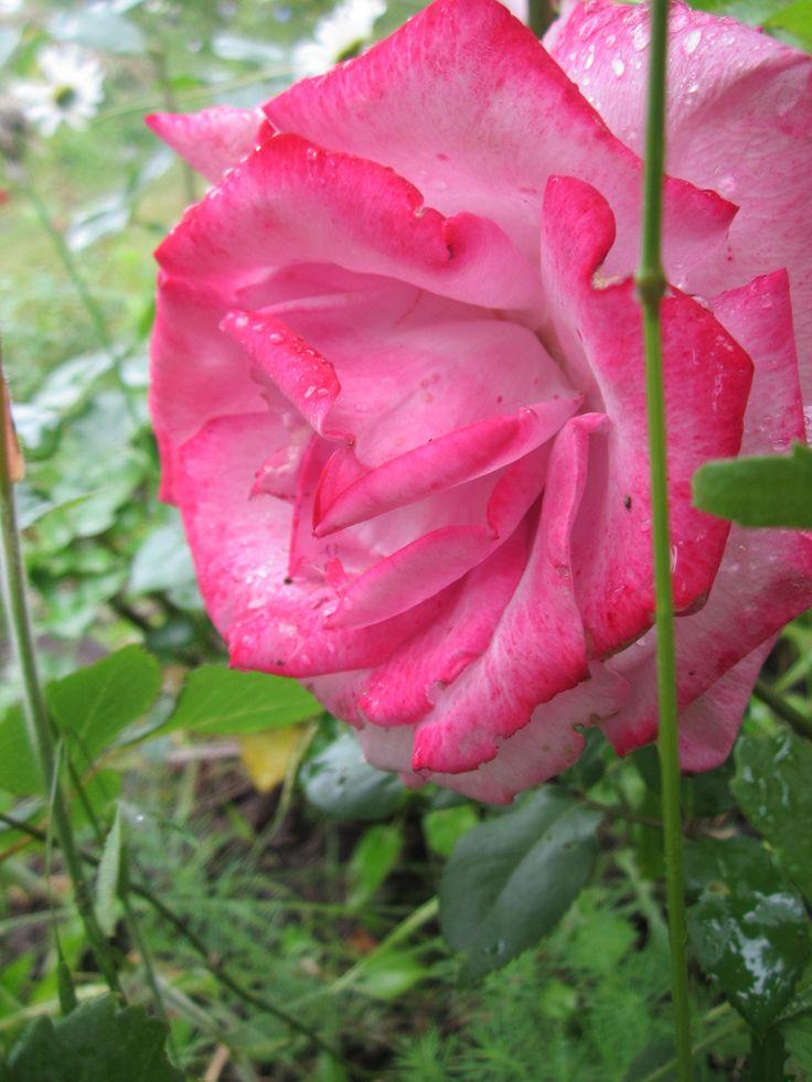 Капли дождя на раскрывшихся розах, Пение птиц и весенние грозы, Солнечный зайчик и отблеск свечей - В жизни есть столько прекрасных вещей.