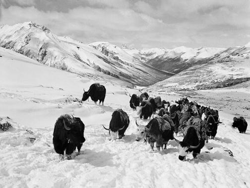 """Zhuang Xueben, """"Yaks in Mountains, Sichuan Province, Xikang Region"""", 1937."""
