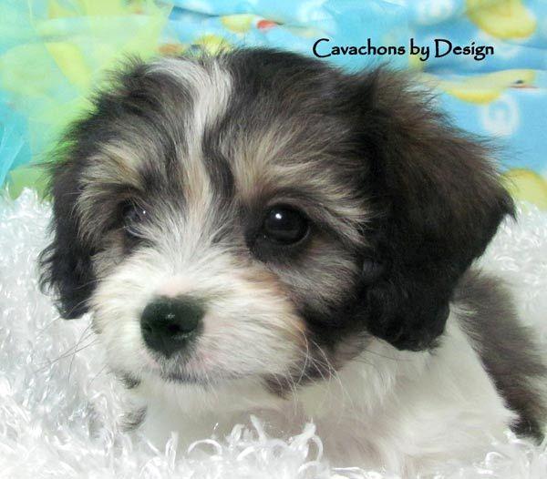 Cavachon puppies for sale, Cavachon, Cavachons, Cavachon dog, Cavachon ...