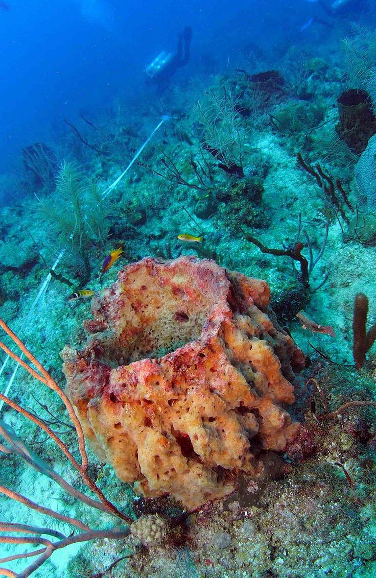 30 best animalia sponges porifera images on pinterest sea httpsenpediawikigiantbarrelsponge reviewsmspy