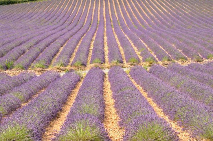 Lavender fields in Haute Provence, FR