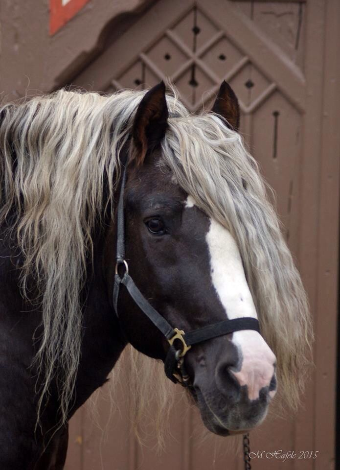 ber ideen zu fjordpferd auf pinterest pferde arabische pferde und islandpferde. Black Bedroom Furniture Sets. Home Design Ideas