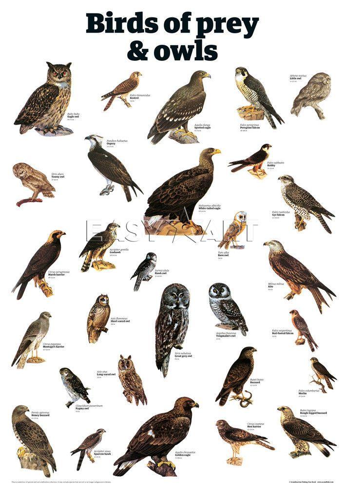 Birds of Prey Identification   Birds of prey and owls - Guardian Wallchart Prints - Easyart.com