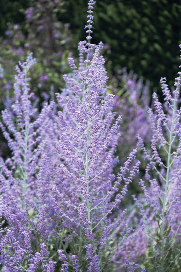 Russian Sage - A member of the mint family, Russian sage produces tiny, purple flowers and silvery-green foliage from midsummer into fall, even in dry conditions.