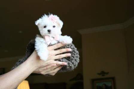 Maltese Puppies For Sale, Teacup Maltese Puppies