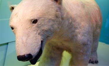 Face of a polar bear. NHM London