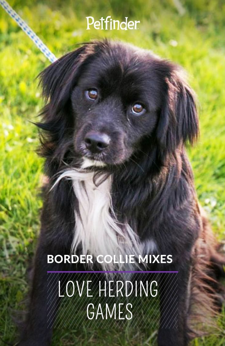 BreedBased Activities for Dogs Herding dogs and Collie