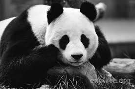 Výsledek obrázku pro panda wallpaper hq