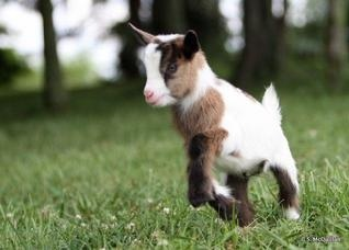 Nigerian Dwarf Goats >>these are on my wishlist for when we have a yard.