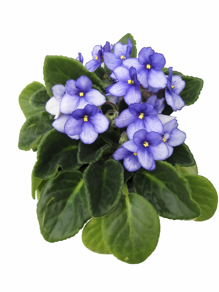 African violets are one of the easiest to grow flowering houseplants. They bloom year-round with little effort.