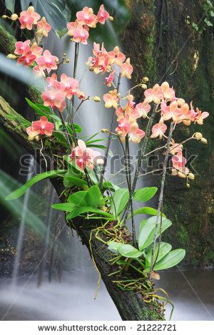Beautiful Phalaenopsis orchids on a tree branch. - stock photo