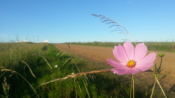 Cosmos on the Freestate dirt roads.