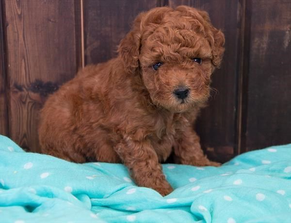 Petland Overland Park Has Poodle Puppies For Sale Check Out All