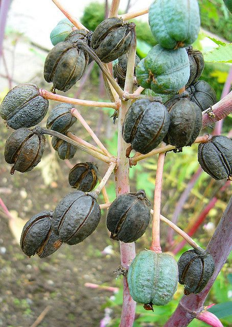Castor Oil Seeds by overthemoon