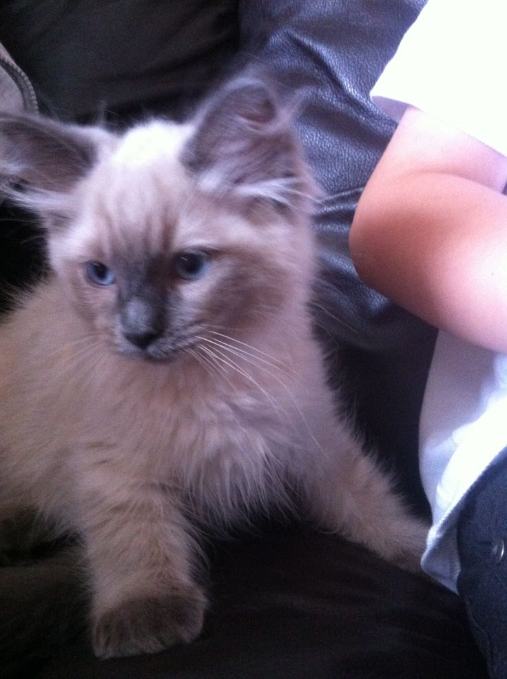 Blue Colourpoint Ragdoll very cute but very naughty!!